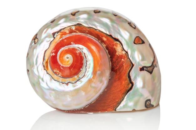 白い背景で隔離の単一の茶色の貝殻