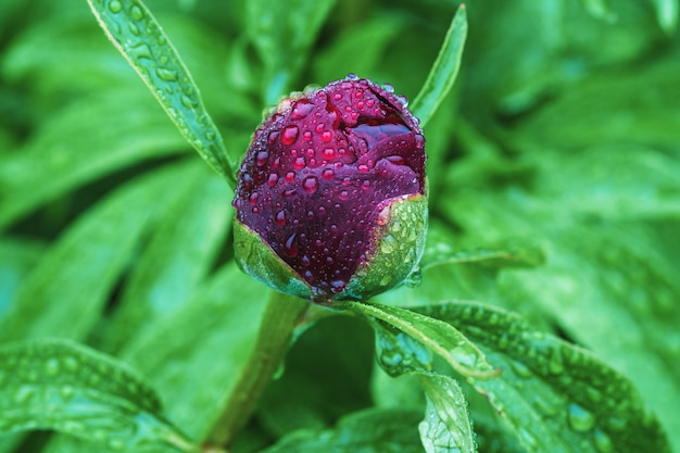 Single burgundy red peony bud in water drops on rainy day