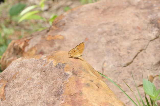 Single butterfly  eating salt on ground at pang sida national park, thailand