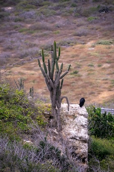 A single buzzard standing looking out from the cliff