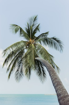 Single coconut palm tree bends toward the sea in tropical island