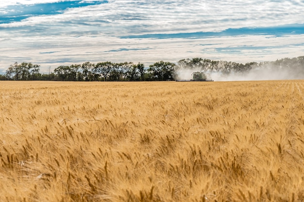 Single combine harvesting wheat in a field at sunset in wymark, saskatchewan