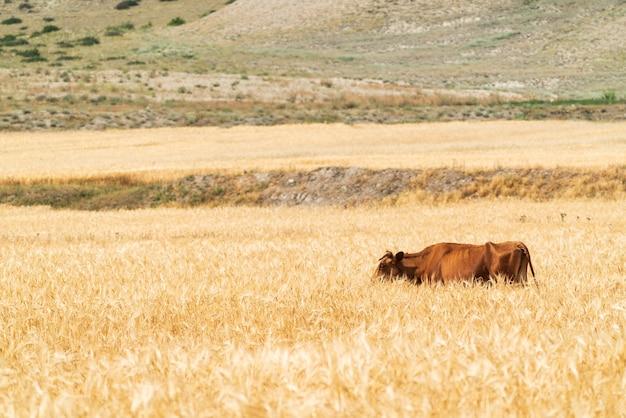 Одна корова в пшеничном поле