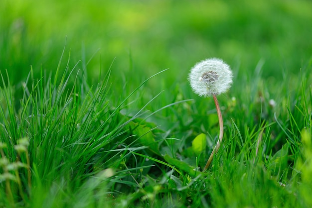 Single dandelion seeds mature with a cap on a green grass meadow.