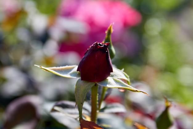 Single dark closed rose growing in the garden otudoors