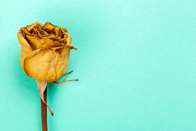 Single dried rose
