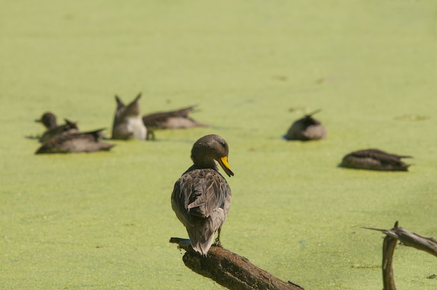 Single duck perched on a piece of wood and a group of ducks in the blurred background