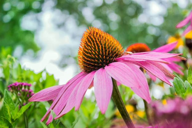 Single echinacea flower in blossom on the blurry background in the garden.