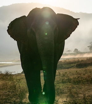 Single elephant walking with the sun from behind.