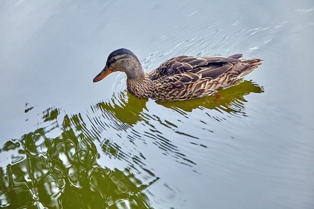 Одинокая самка кряквы в пруду на фоне водной ряби