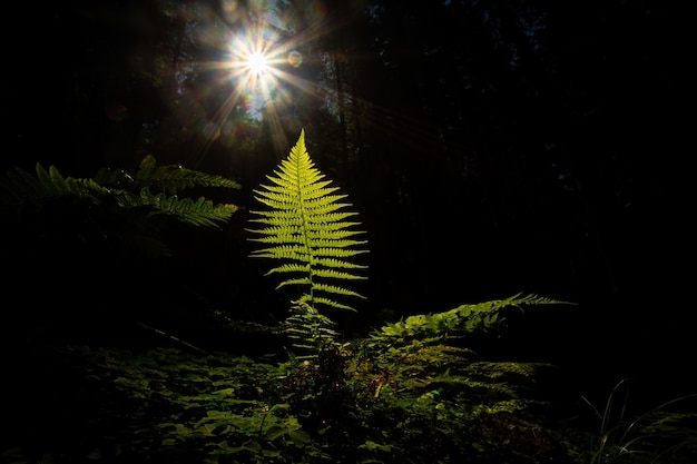 A single fern leaf growing on a dark place in forest illuminated by sun rays