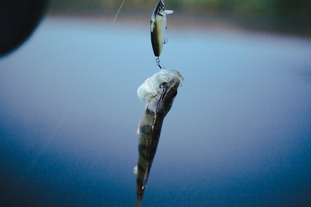 Single fish hooked in fishing lure against defocused background