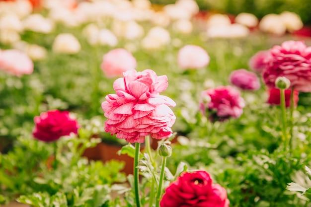 정원에서 단일 꽃 신선한 분홍색 금 잔 화