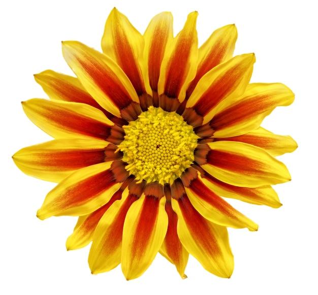 Одиночный цветок тигровой газании. (род сложноцветные splendens). изолированный.