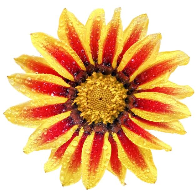 Одиночный цветок тигровой газании с каплями. (род сложноцветные splendens). изолированный.