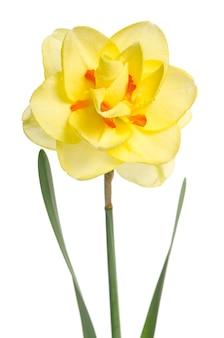 노란 수선화의 하나의 꽃