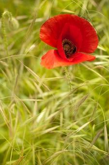 Single flower of poppy.
