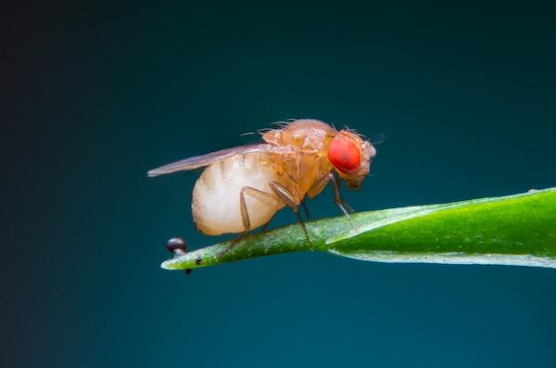 Single fruit fly (drosophila melanogaster) on blue background