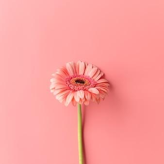 ピンクの背景に単一のガーベラデイジーの花。ミニマルなデザインのフラットレイ。パステルカラー