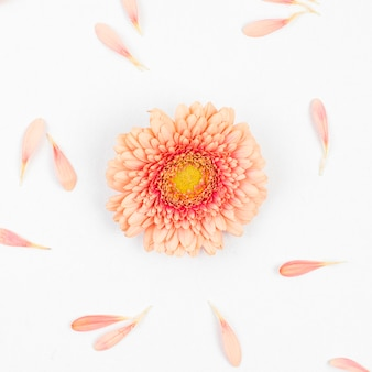 Single gerbera flower and petals on white backdrop