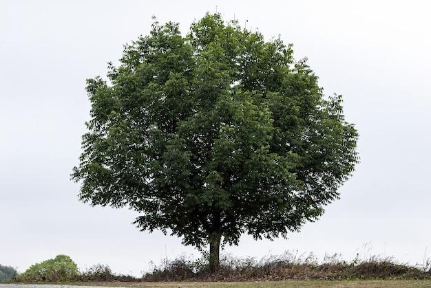 Одно зеленое дерево на чистом небе