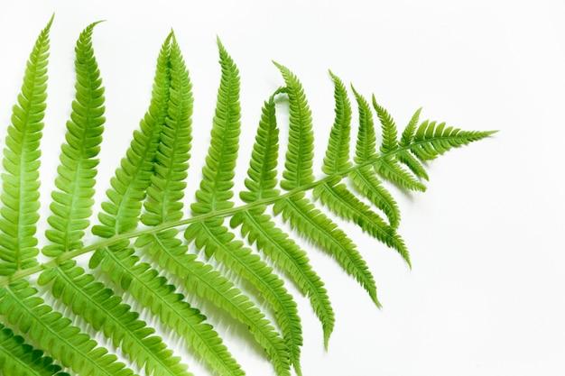 Single leaf of fern on white