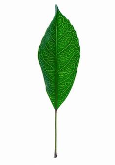 白い表面に分離された一枚の葉