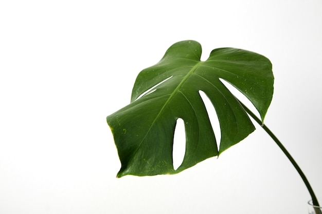 Single leaf of monstera deliciosa palm plant