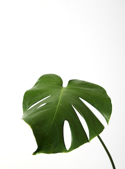 Single leaf of monstera deliciosa palm plant