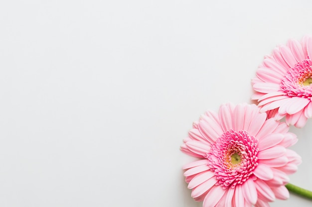 회색 배경에 단일 밝은 분홍색 gerbera 데이지 꽃