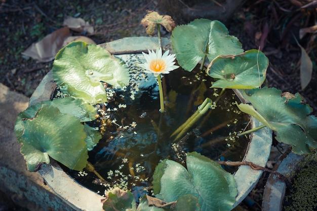 Fiore singolo di loto