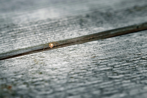 Single male giant house spider on a wooden slat .