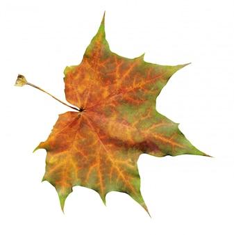 Single maple leaf isolated on white