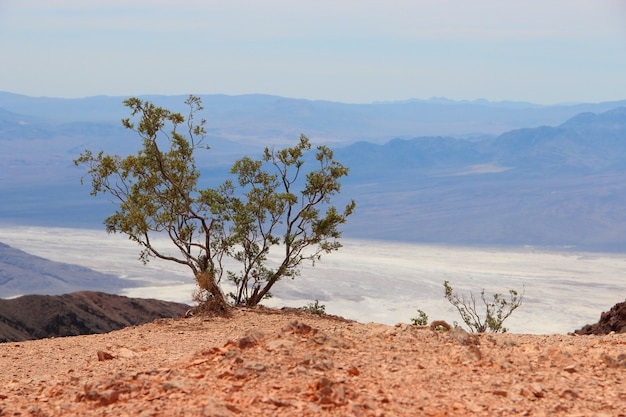 Single mexican pinyon tree in a desert near the sea surrounded by high mountains