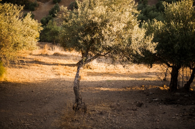 Single olive tree in field