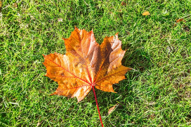 Single orange maple leaf in the morning water dew is lying on a green grass meadow.