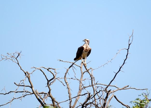 単一のミサゴは、青い空を背景に大きくて鋭いとげのある木の上に座っています