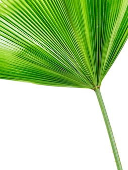 Single palm leaf isolated on white