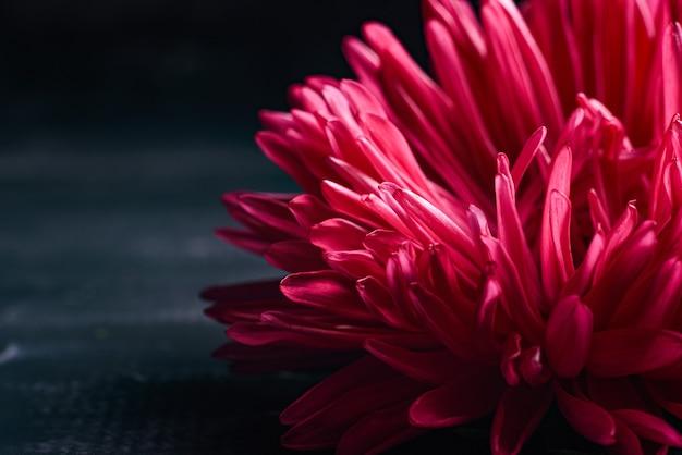 黒の背景に分離された単一のピンクアスター