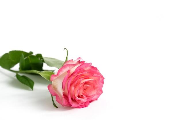 Одиночная розовая цветущая роза на белой поверхности.