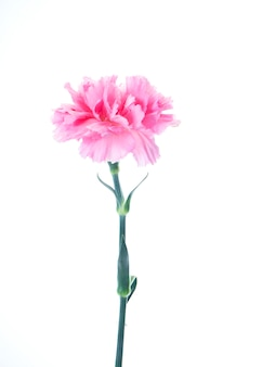 Single pink carnations flower on white