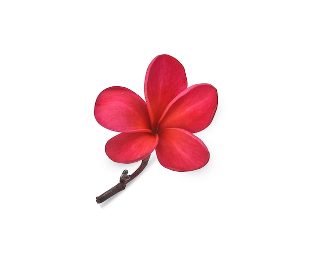 単一のピンクのフランジパニの花は白を分離しました