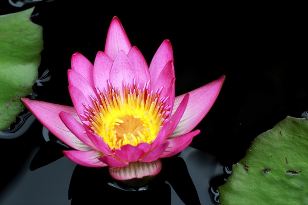 A single pink lotus in nature
