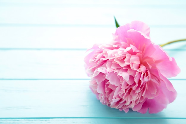 Single pink peony flower on blue wooden background.