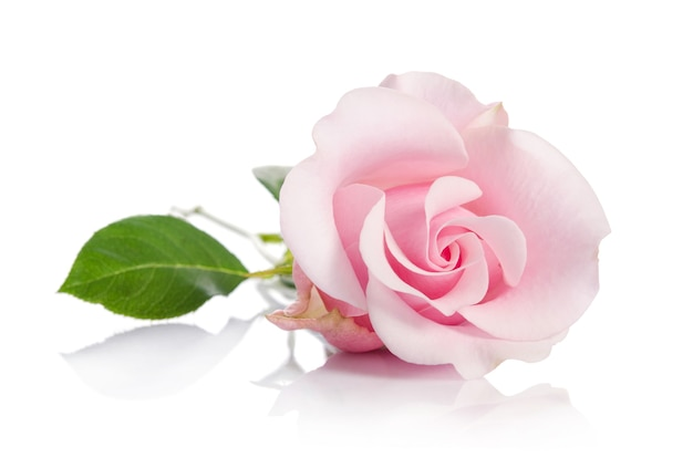Single pink rose isolated
