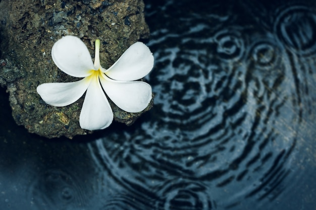 Single plumeria flower on stones with water