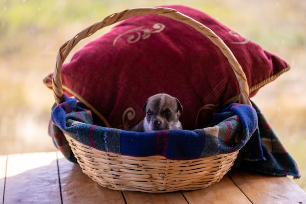 A single puppy sitting in a wiker basket with a red cushion Premium Photo