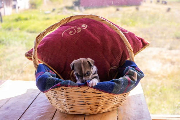 A single puppy sitting in a wiker basket with a red cushion