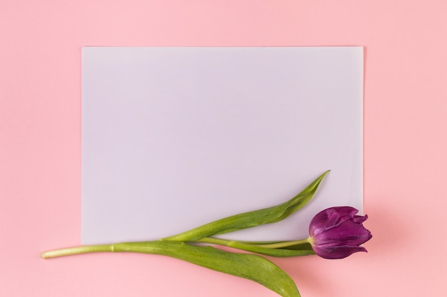 Single purple tulip on blank white paper against pink background
