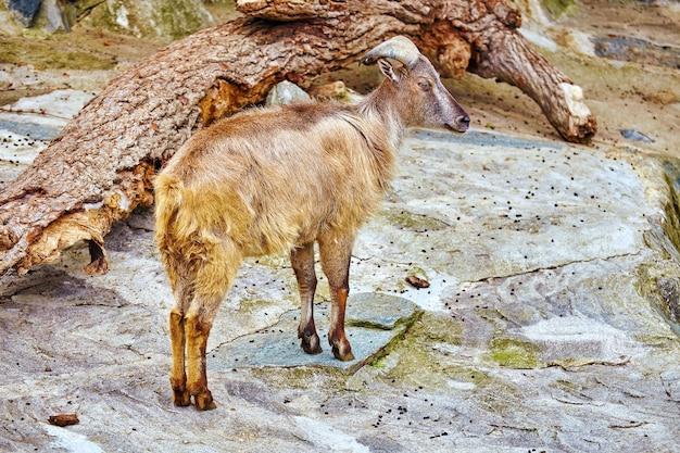 Одиночный баран в естественной среде обитания в дикой природе.